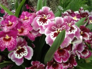 Miltonia's The Pansy Orchid